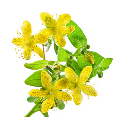 Herb St. John's wort on white