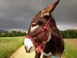 canvas print picture - Esel im Gewitter