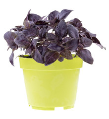 Red rubin basil in a pot