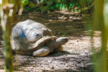 Aldabra giant tortoise turtle