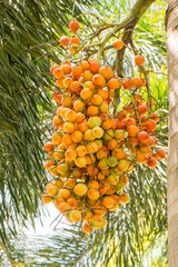 fruit of palm