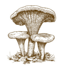 engraving illustration of three mushrooms