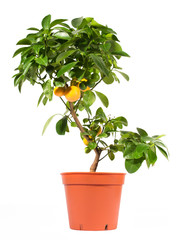 Orange tree in pot isolated on white