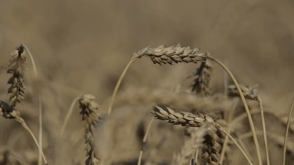 spikelets in the field for close-up