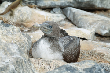 Baby Blue-footed Booby in Genovesa island