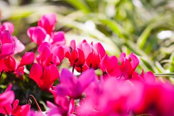 pink begonias flower