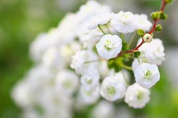 Close up of bridal wreath flowers