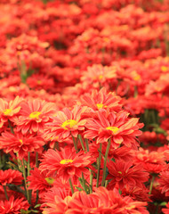 Red chrysanthemum flowers