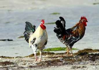 Colorful Roosters