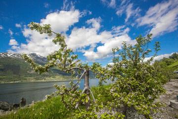 Fruit blossom in Hardanger