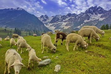 Lamb in Spring time