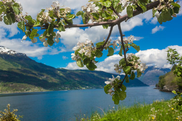 Flowering gardens on the Hardanger fjord background