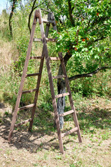 Wooden ladders and apricot orchard