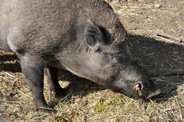 Detailed view of the wild boar