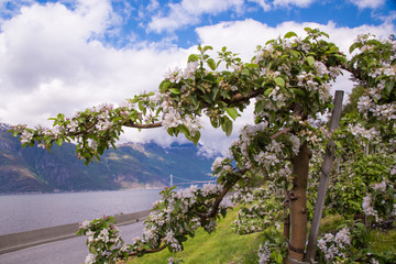 Blossoming apple orchards in Hardanger fjord, Norway