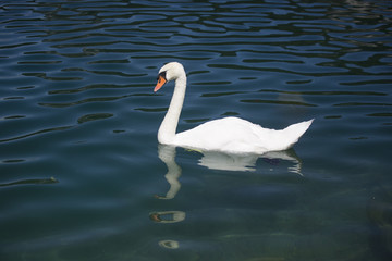 Swan gliding on the lake
