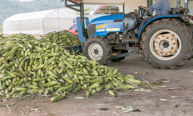 Heap of fresh corns harvested by a tractor in a farm