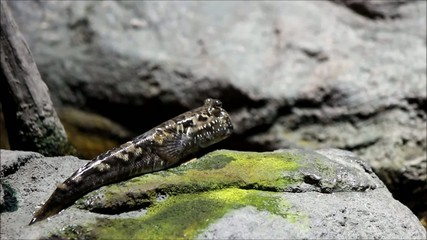 Schlammspringer (Atlantic Mudskipper)