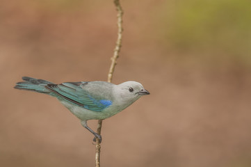 Blue-gray Tanager