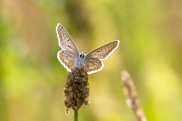 Common blue butterfly faces camera