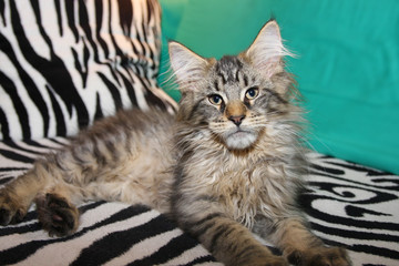 Maine Coon Baby Boy