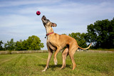 Great Dane trying to catch ball thats in mid air