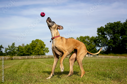 canvas print picture Great Dane trying to catch ball thats in mid air