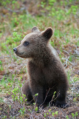 Cub of a brown bear