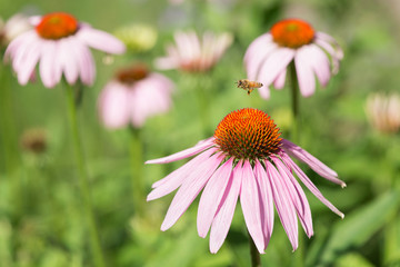 Bee collecting pollen on echinacea flowers