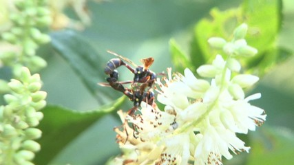 Wasp mating on a flower