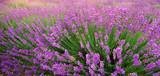 Fototapety Lavender texture