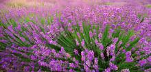 Lavendel textur