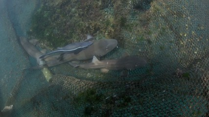 Brownbanded bamboo sharks in ocean nursery cage