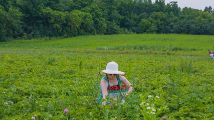 Woman in straw hat picking strawberry on a farm