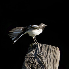 White-browed wagtail grooming in black background.