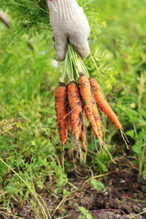 Fresh ripe crunchy carrots in a hand