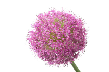 Allium giganteum isolated on white background