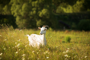 White goat grazes on green meadow