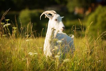 White horned goat grazed on a green meadow
