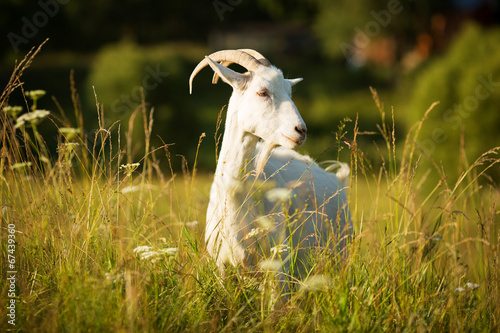 Leinwandbild Motiv White horned goat grazed on a green meadow