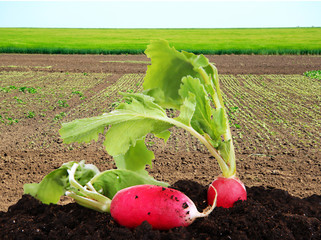 Garden radish in bed on green field background
