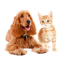 Cocker spaniel and kitten isolated on white