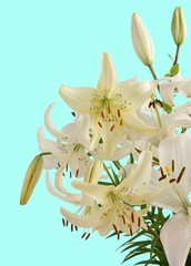 yellow lilies on blue background