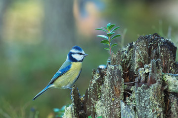 Blue Tit sitting on an old stump
