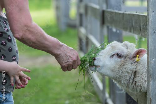 Keuken foto achterwand Schapen Grandma and a grandchild feeding a sheep in a petting zoo