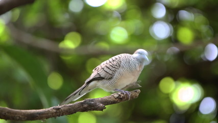Zebra dove (Geopelia striata) or barred ground dove