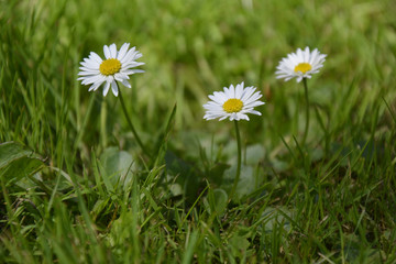 White Daisies on green Background
