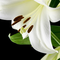Close up of a beautiful white lily