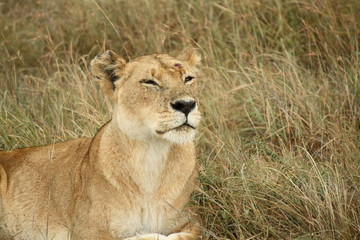 Lioness in Masai Mara Sniffing the Air