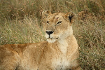 Lioness Deep in Thought